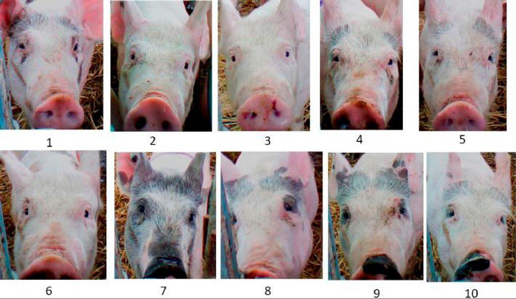 Cerdo chino