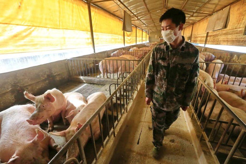 Brote de un virus porcino en China