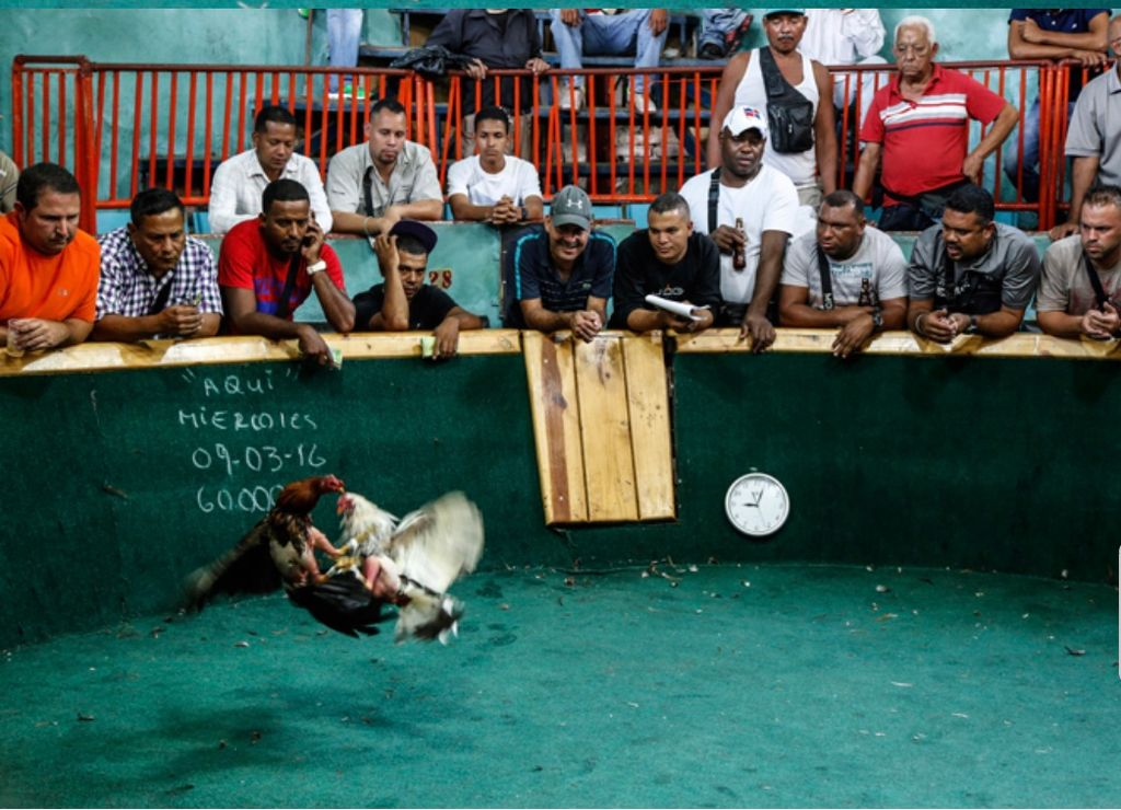 Peleas de gallos en Venezuela