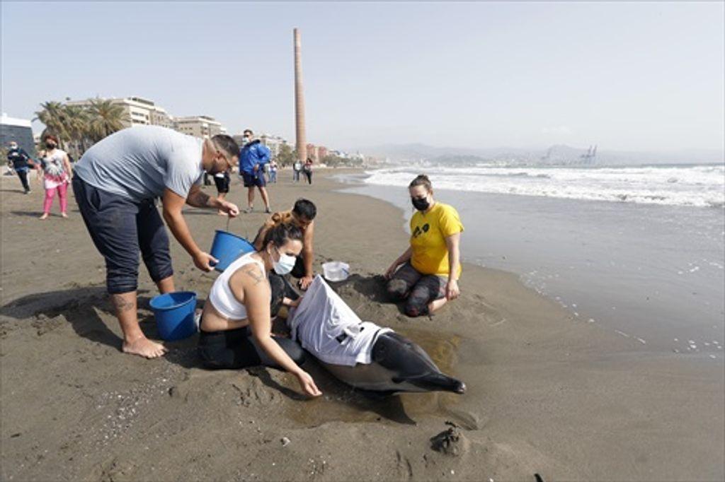 Varios bañistas ayudan a un delfín varado en la playa de la Misericordia.