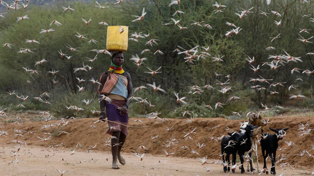 La langosta del desierto cruza el Índico: Asia se prepara para un agosto complicado