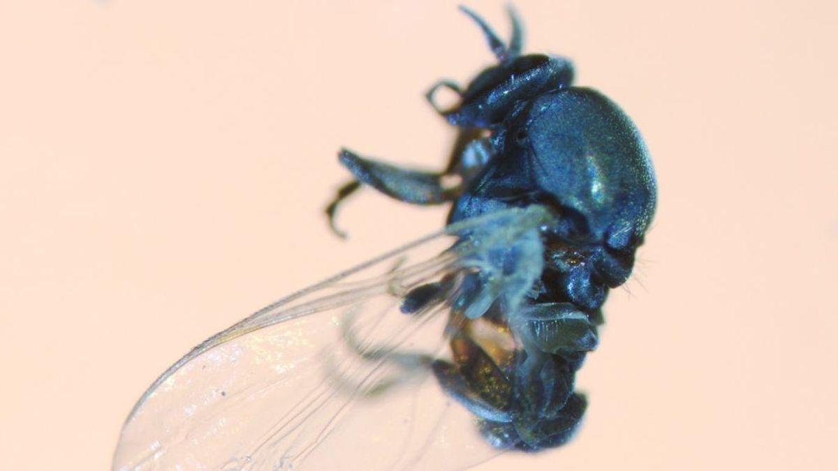Plaga de mosca negra: advierten de que será más agresiva por el confinamiento