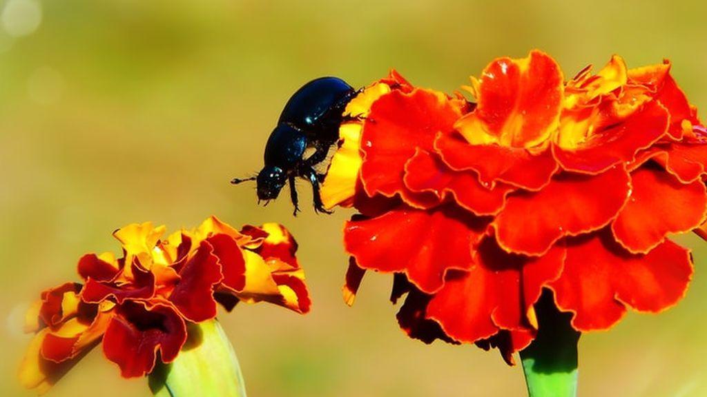 Minicámara a espaldas de un escarabajo: primeros pasos para robotizar la observación de los insectos