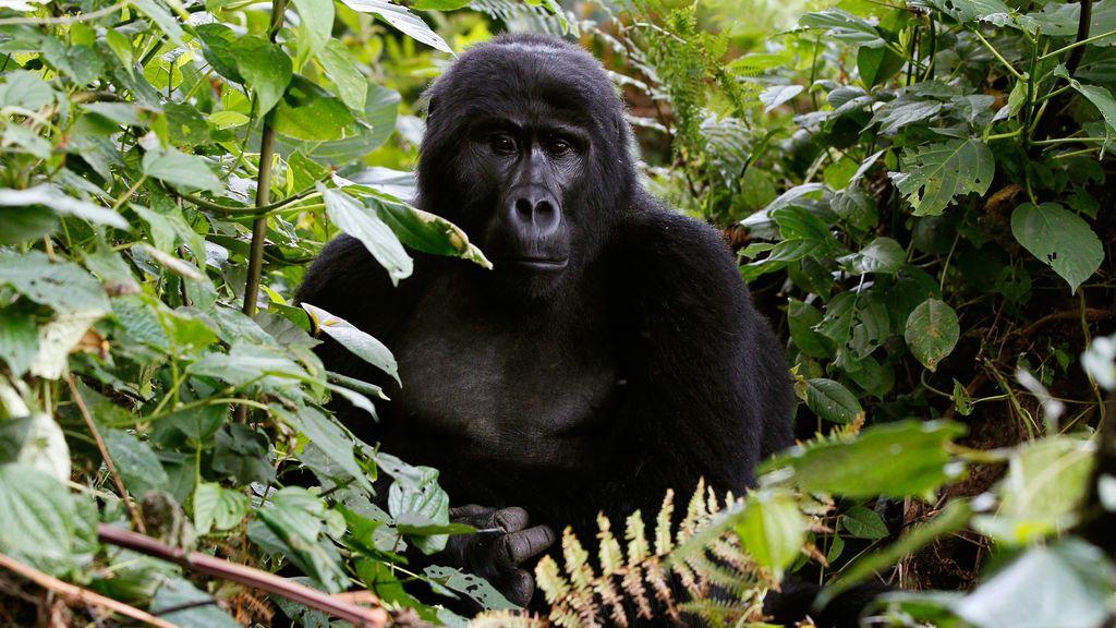 Once años de cárcel por matar a un famoso gorila de Uganda aunque alega defensa propia