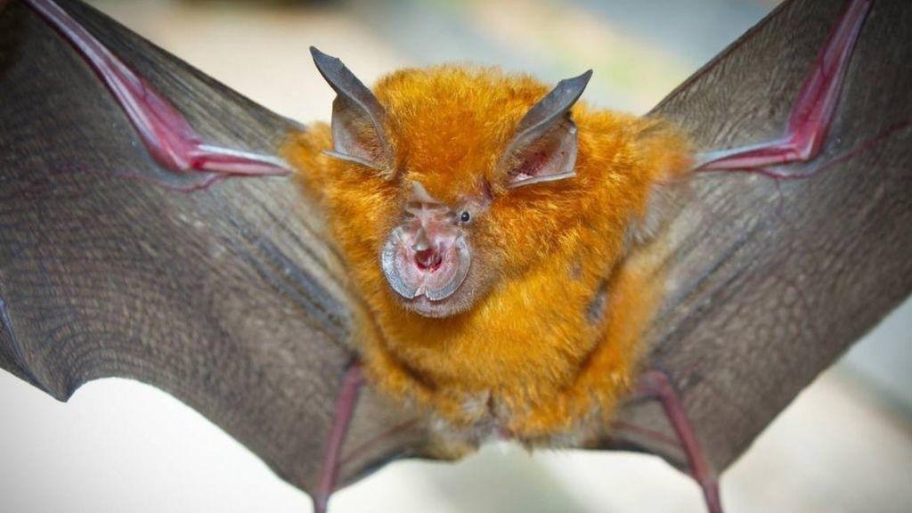El SARS-CoV-2 lleva entre 70 y 40 años en los murciélagos y lo más probable es que saltara directamente a humanos