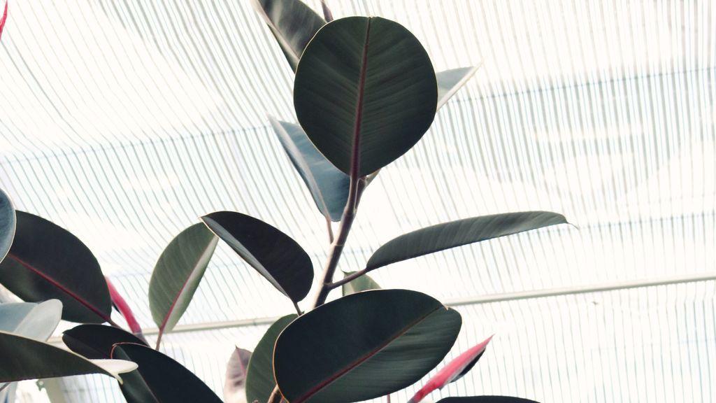 Madyson Inouye. Ficus