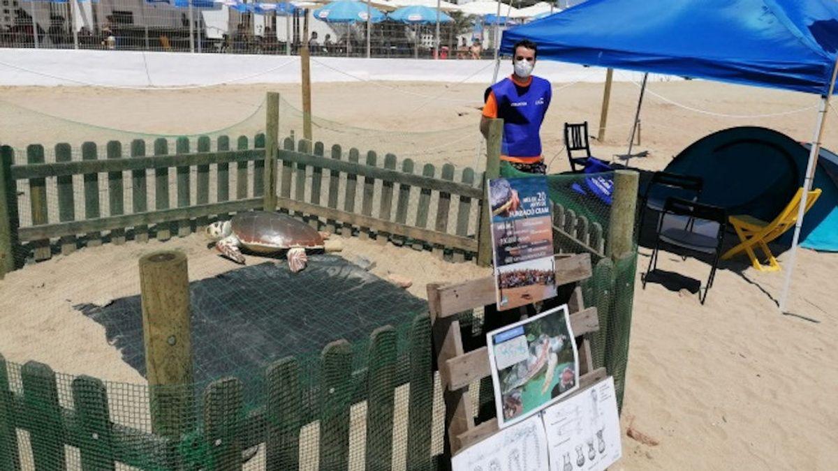 Se buscan voluntarios para proteger el nido de una tortuga boba en plena playa de Barcelona