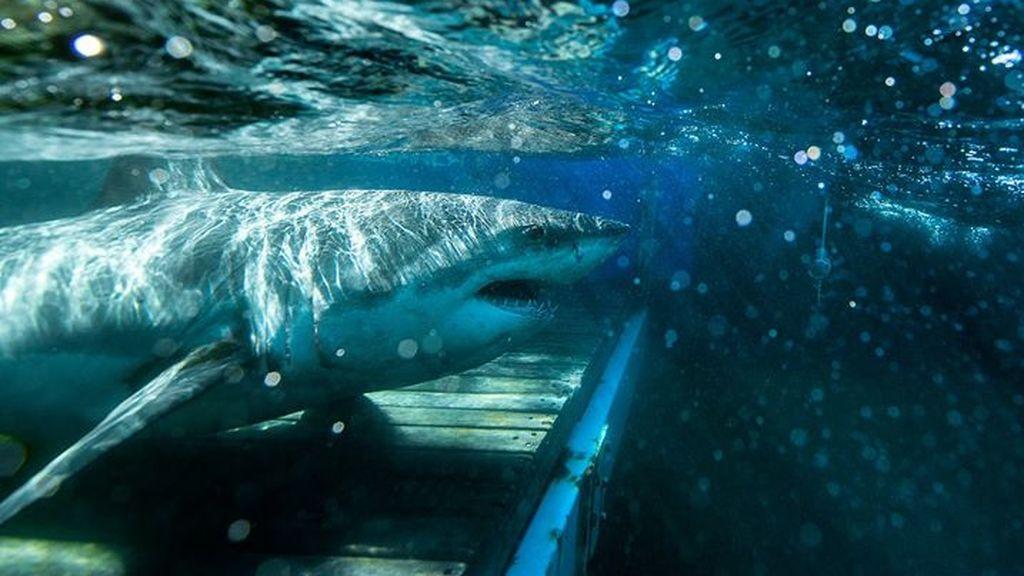 El tiburón blanco se acerca a Nueva York: por qué eligen cada vez más la Costa Este