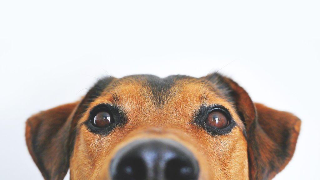 Mi perro hace unos ruidos raros al respirar: identificar el estornudo inverso puede evita preocupaciones