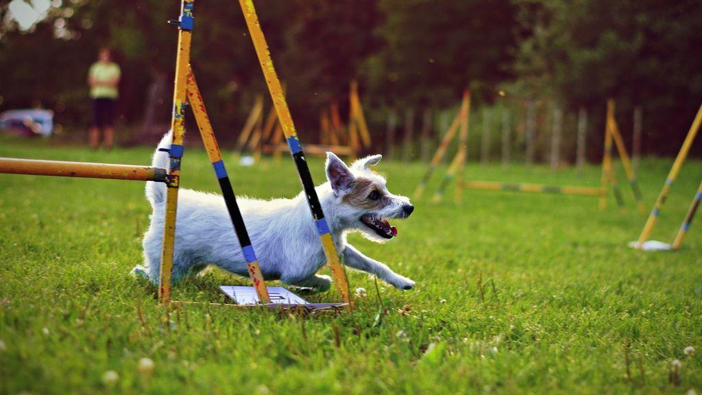Súmate a la propiocepción, el entrenamiento para perros que les hace ser más conscientes de sus músculos