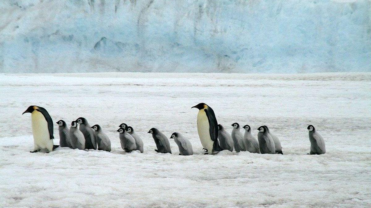 Descubren nuevas colonias de pingüino emperador desde el espacio
