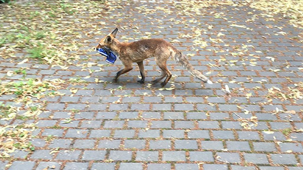 Un zorro ha sido descubierto como el mayor ladrón de sandalias en Berlín: reunió más de cien