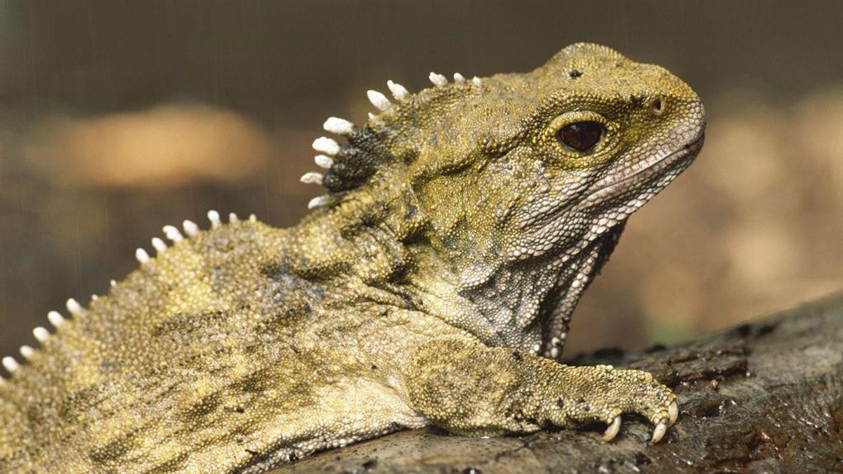 Descifran el genoma de la tuatara, un híbrido de mamífero y reptil que vivió entre dinosaurios