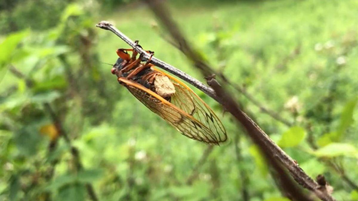 Cigarra zombi: el insecto manipulado por un hongo para infectar a otros