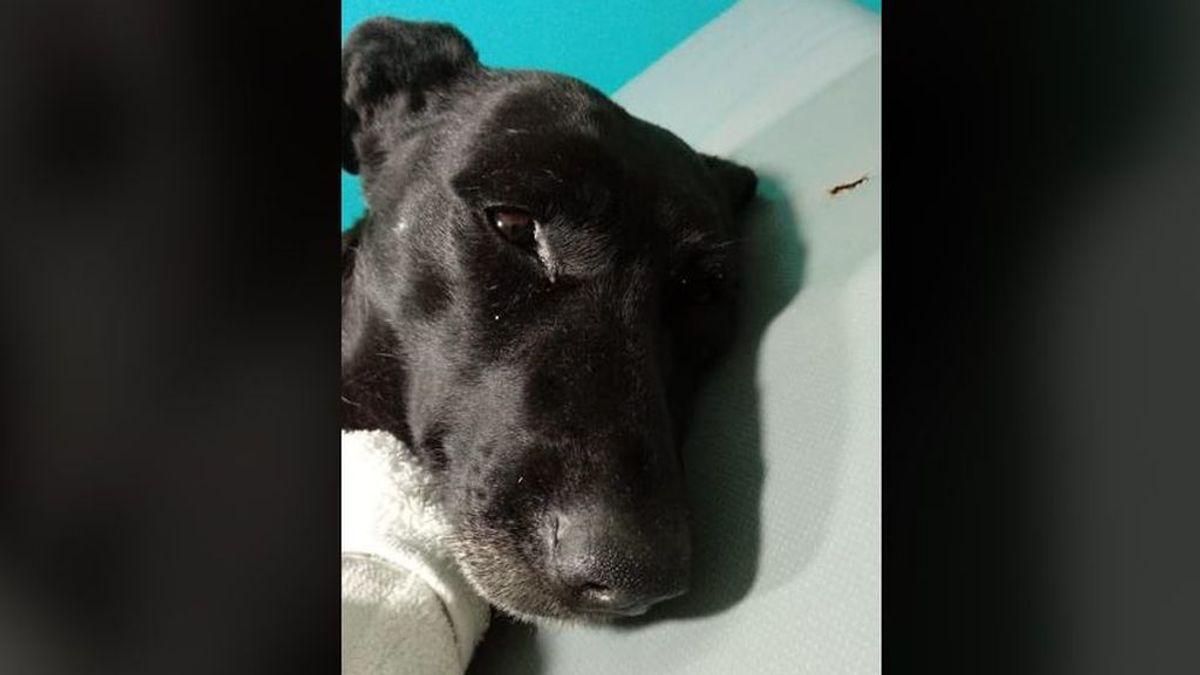 Intentan salvar la vida a una perra en Argentina a la que arrancaron la piel