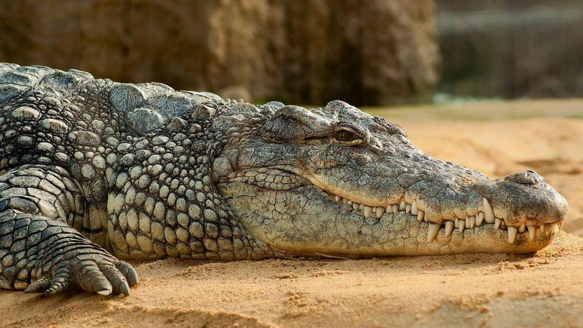 Encuentran los restos de un adolescente de 14 años desaparecidos en el interior de un cocodrilo