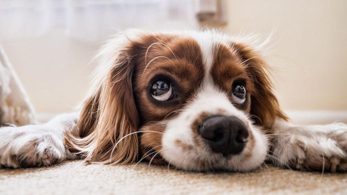 Cuál es la forma de calcular la edad de tu perro