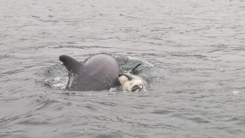 Una hembra delfín intenta reflotar a su cachorro