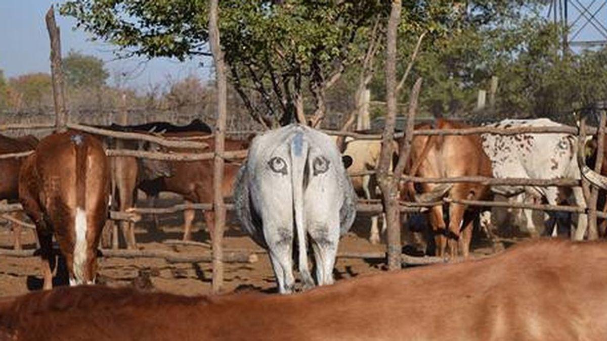 El engaño del ganado: descubren que pintado ojos a las vacas espantan a los depredadores