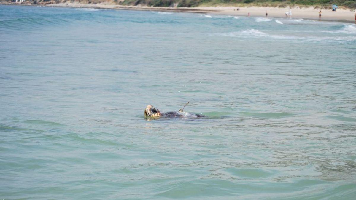 Sparrow, la tortuga recuperada de un traumatismo craneoencefálico que está cruzando el Mediterráneo