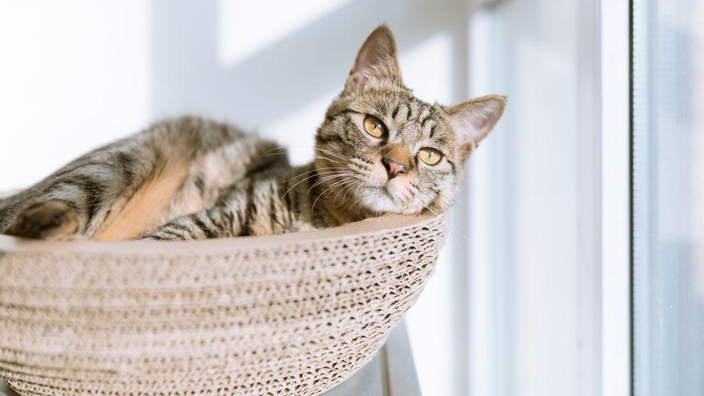 Mitos y leyendas sobre la esterilización felina, uno de los procesos más habituales en las clínicas veterinarias