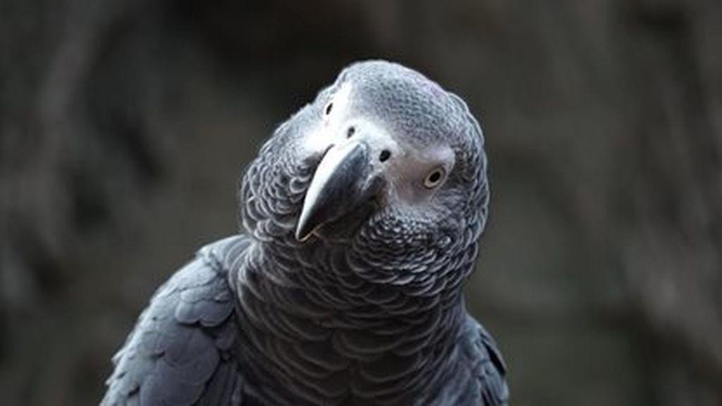 Fin a la polémica del loro Curro: la Audiencia de Alicante aclara quién se queda con la custodia de este pájaro