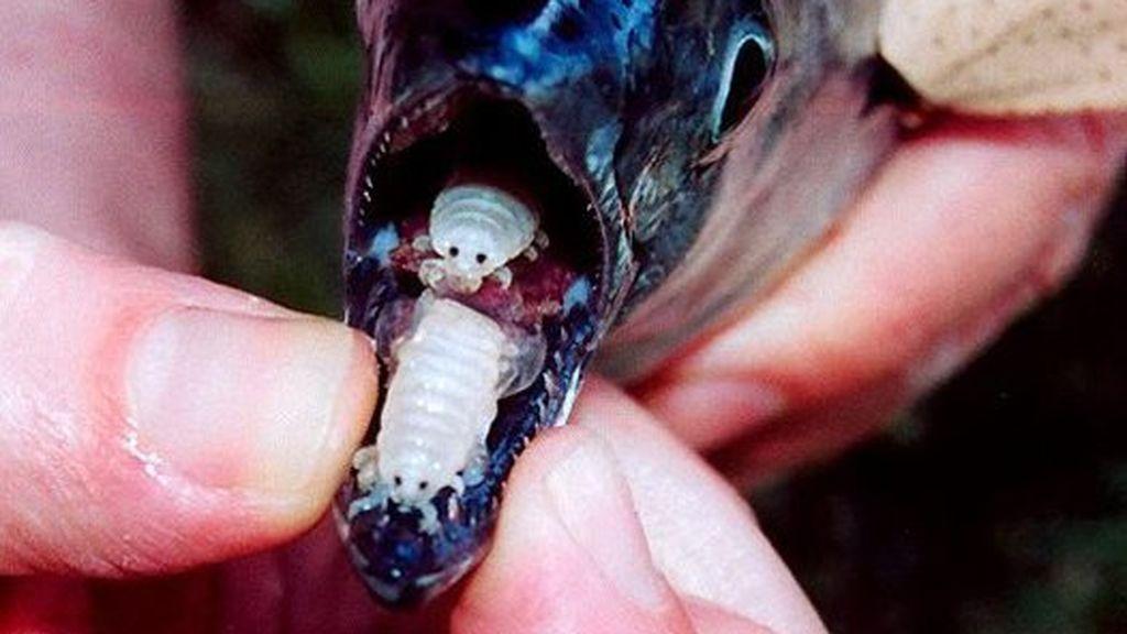 El parásito vampiro que se hace pasar por la lengua del pez anfitrión después de comerse la suya