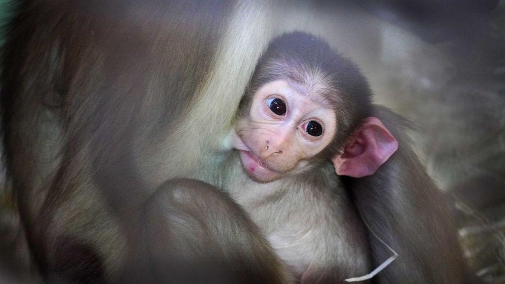 La madre del pequeño mangabey lo amamanta.