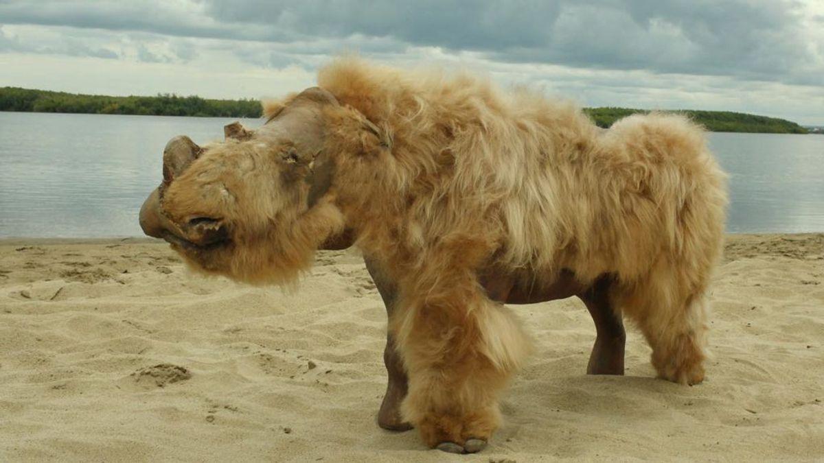 El rinoceronte lanudo no se extinguió por la caza, sino por un calentamiento del planeta