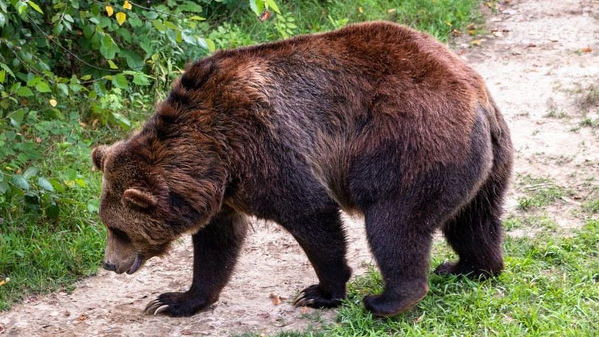 Un oso pardo resulta herido en Asturias: le buscan para ayudarle después de un accidente de tráfico
