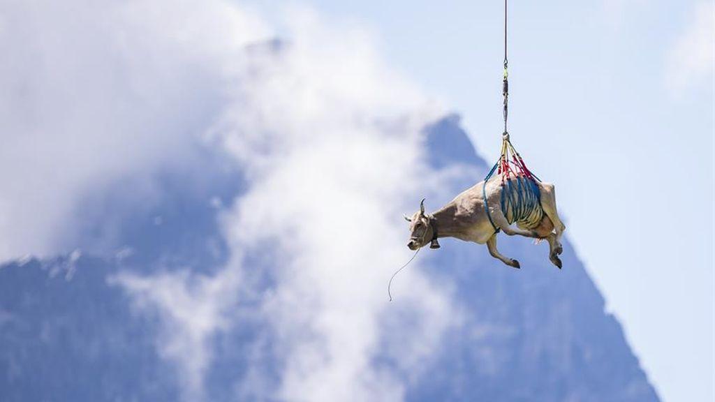 La vaca voladora: es trasladada en helicóptero al no poder hacer el popular recorrido del Bodenfahrt en Suiza