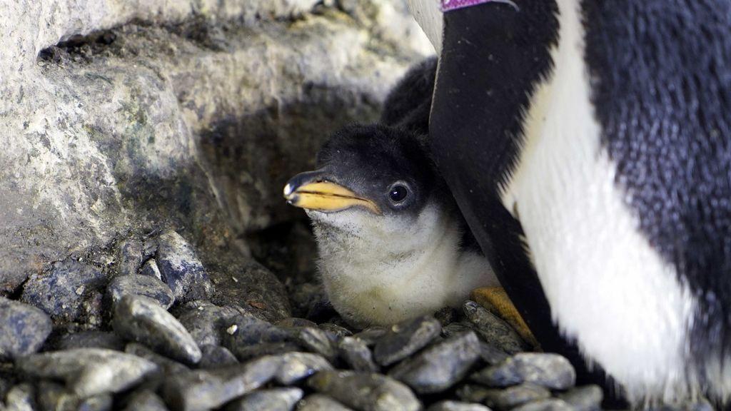 El-pequeño-pingüino