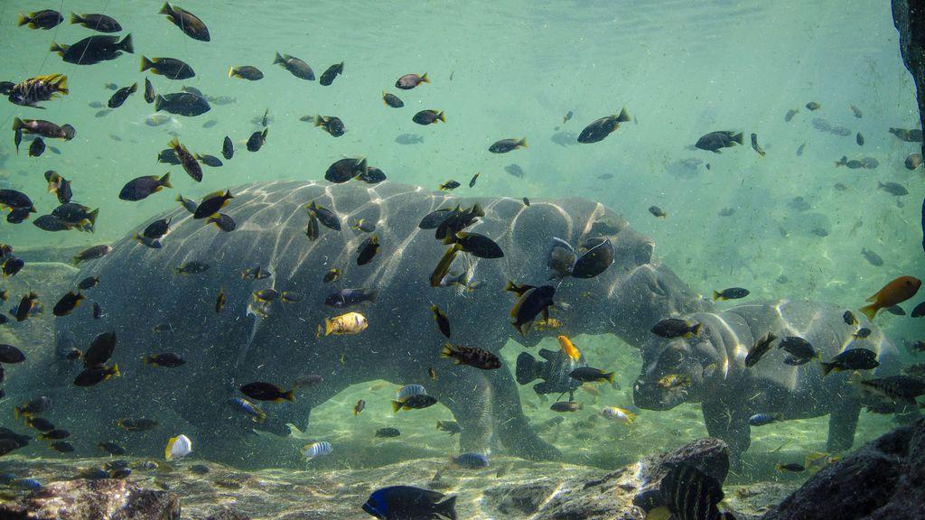 Gori y su madre, igual que el resto de los hipopótamos, pueden aguantar sumergidos hasta 16 horas.