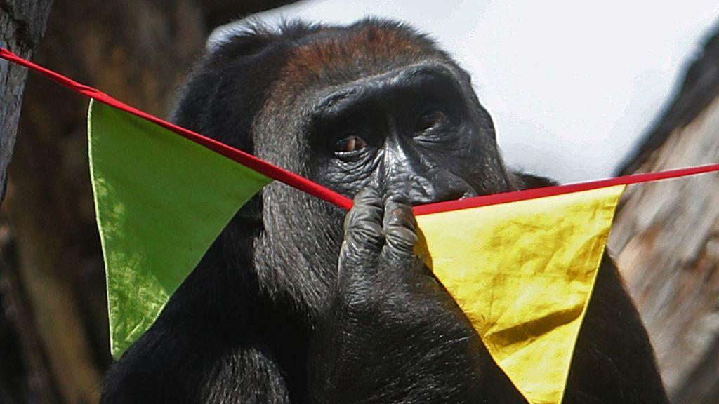 Los gorilas, las ballenas blancas y los delfines entre los animales con más riesgo de contagio del coronavirus