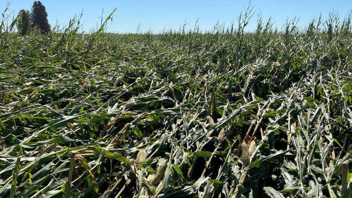 Un campo de maíz, hecho trizas: así lo dejó el fuerte viento del reciente 'derecho'