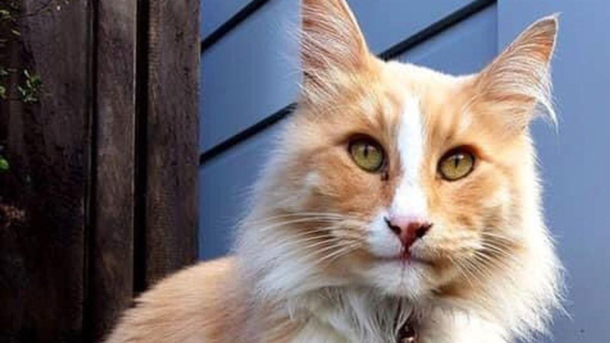 Mittens es un gato callejero que compite por convertirse en el neozelandés del año