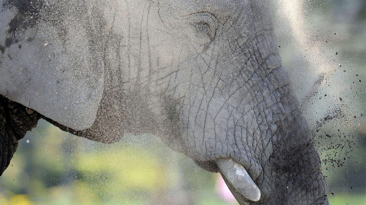 El zoo de Varsovia dará marihuana medicinal a sus elefantes