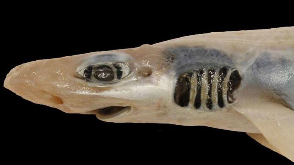 Sin piel y sin dientes: el misterio del tiburón hallado en el Mediterráneo