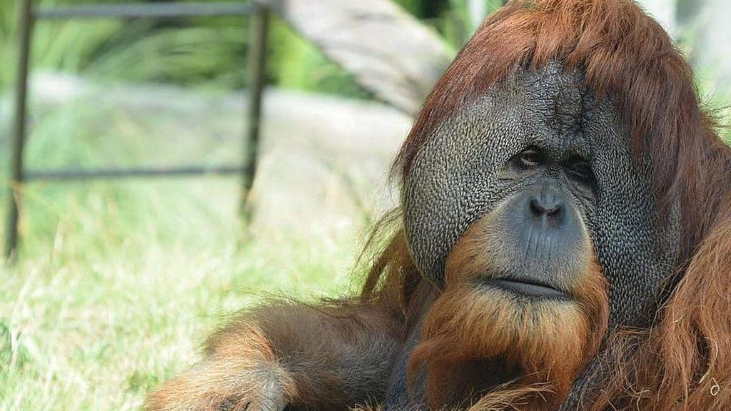 wildlife-animal-ape-primate-mammal-orangutan-borneo-sumatra-rainforest
