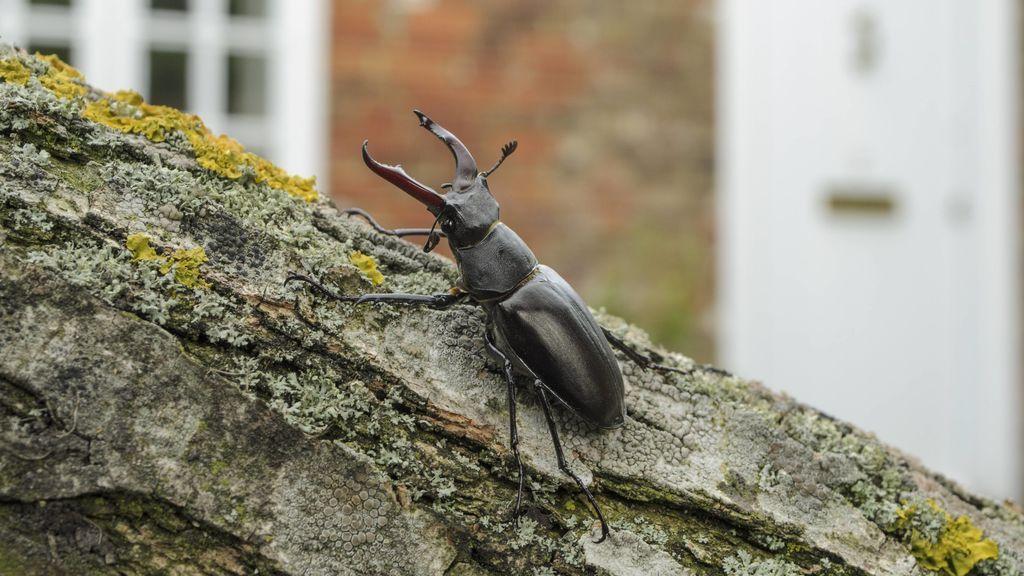 Ciervo volante, el escarabajo más grande y más esencial de Europa: qué pasará si desaparece