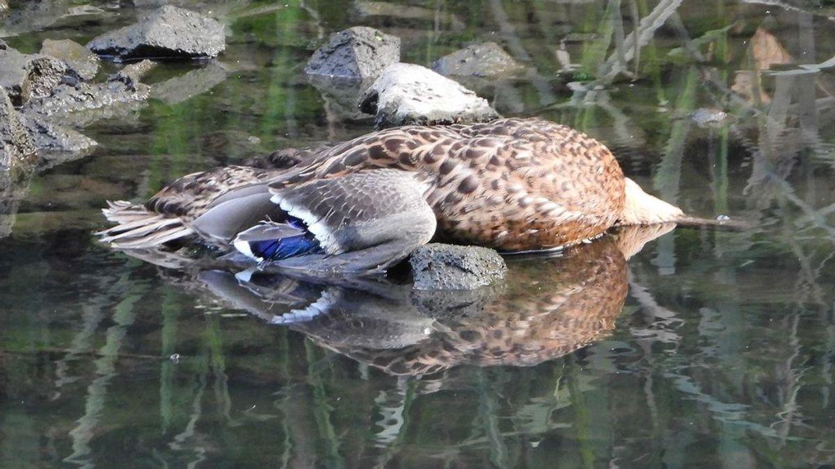 Patos muertos en la ría de Avilés: piden que se investigue el posible envenenamiento