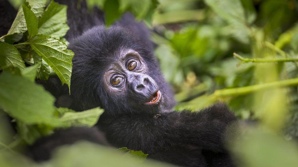 El gorila se recupera en Uganda: 'baby boom' en un parque nacional durante el verano