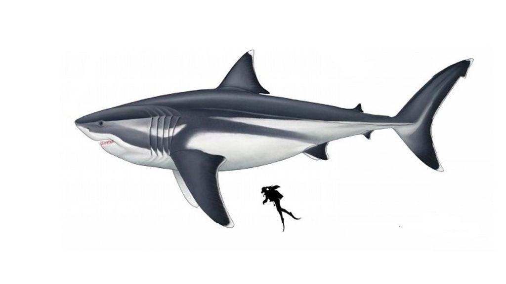 Estiman el tamaño del megalodón: más de 15 metros de largo y una aleta dorsal como un humano