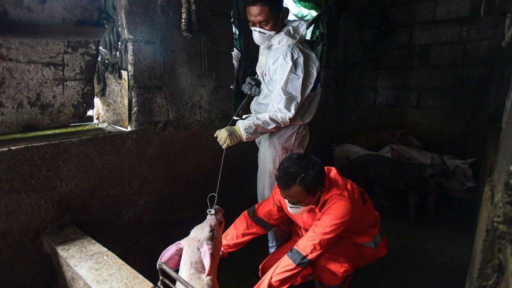 La otra epidemia (porcina) que tiene en guardia a Europa.