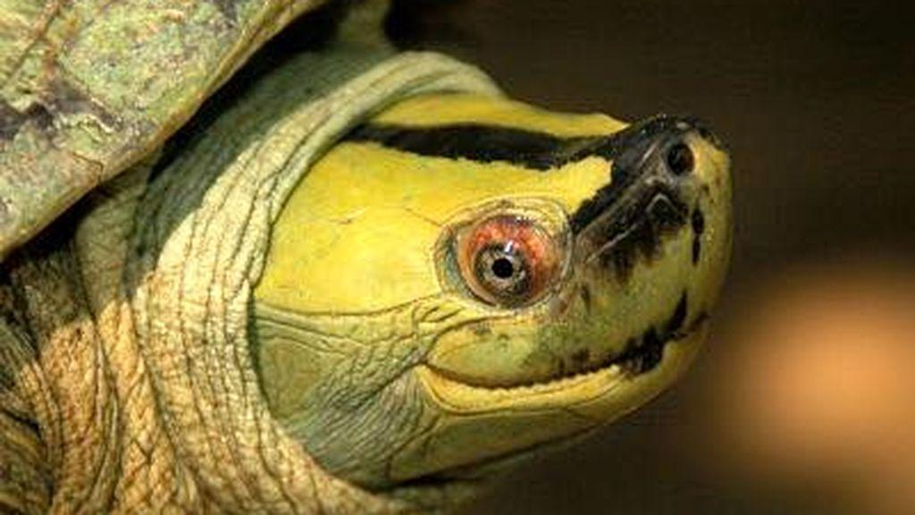 De la casi extinción a los mil ejemplares: consiguen salvar a la tortuga de la sonrisa permanente