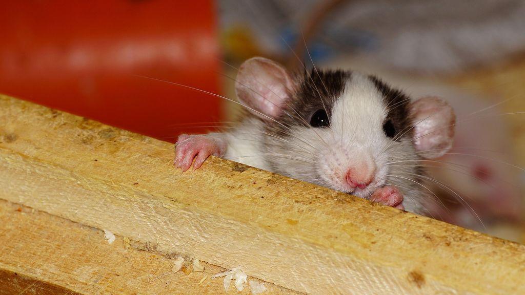 Una mujer muerde el pene de su marido después de que se negara a matar una rata en casa