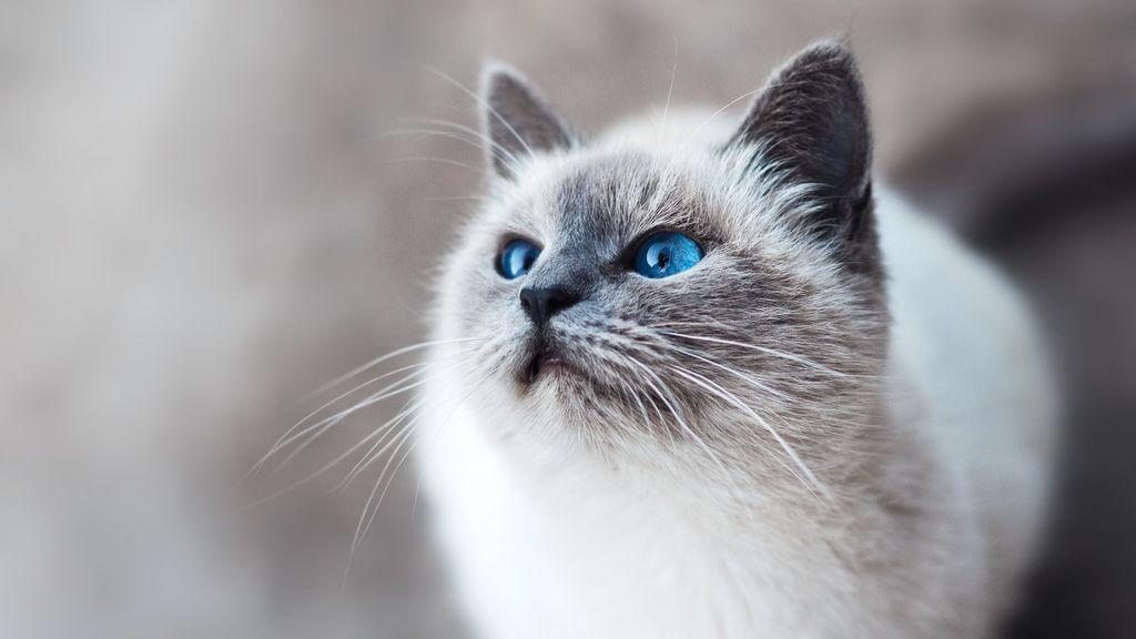 ¿Sabes qué es la taurina y por qué es importante que se la des a tu gato?