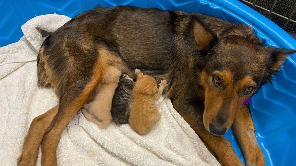 Una perra rescatada que perdió a sus cachorros se convierte en la madre de unos gatitos huérfanos