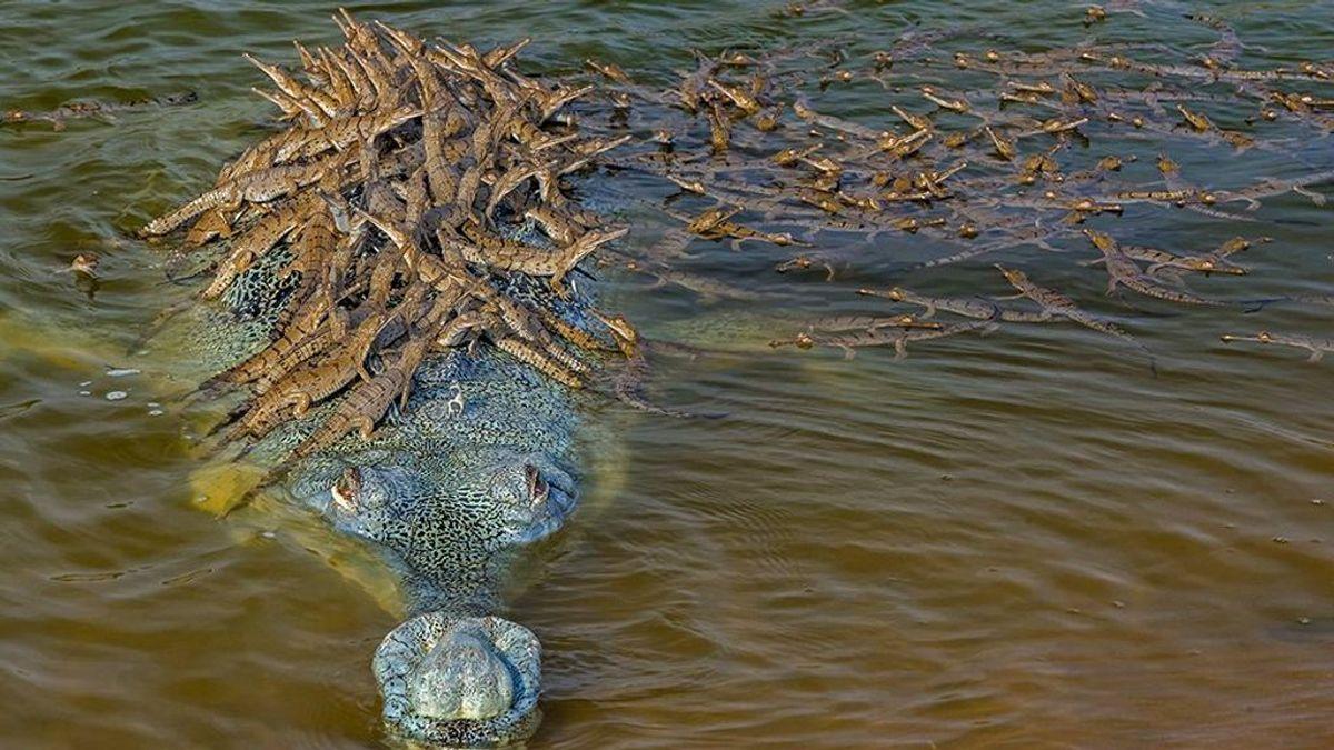 Cocodrilo transporta 100 crías a las espaldas: la historia detrás de la instantánea del año