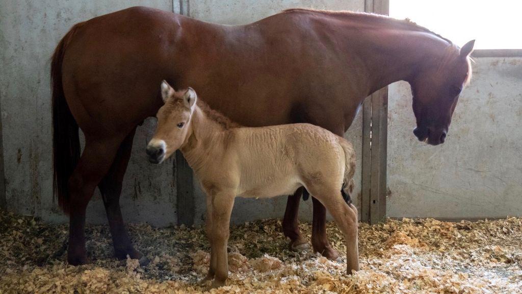 Parece un caballo normal pero no lo es: el potro clonado con la misión de salvar su especie